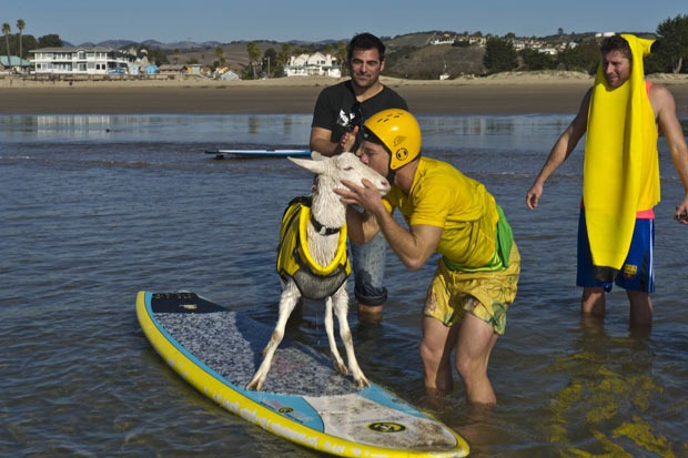 A goat on a surfboard