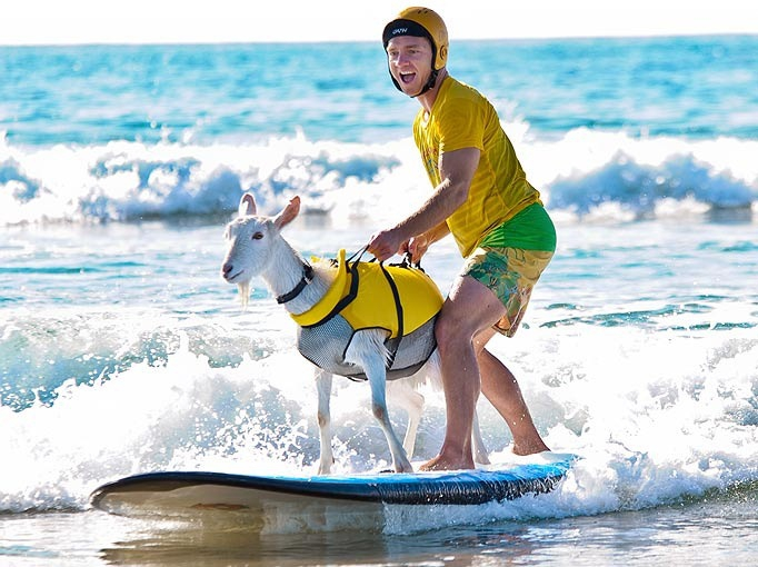 Man is surfing with his goat