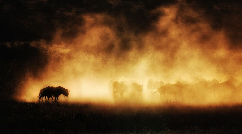 Shadows in dust A herd of wildebeest kick up dust at sunset