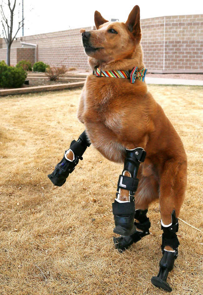 The Bionic Dog With Four Prosthetic Legs Hits Us In All The Feels