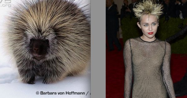 Porcupine or Miley Cyrus
