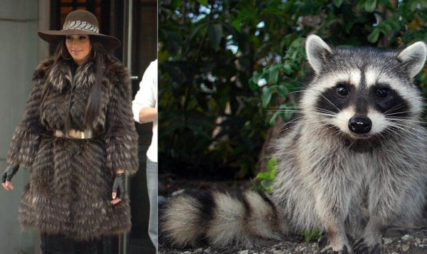 Kim Kardashian or Raccoon