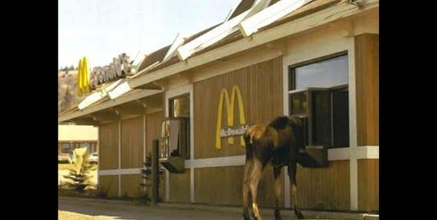 Moose In The Drive Through