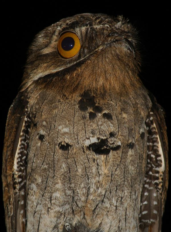 Potoo: the most shocked bird ever