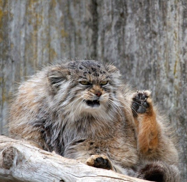 Would You Like to Pet This Manul Cat