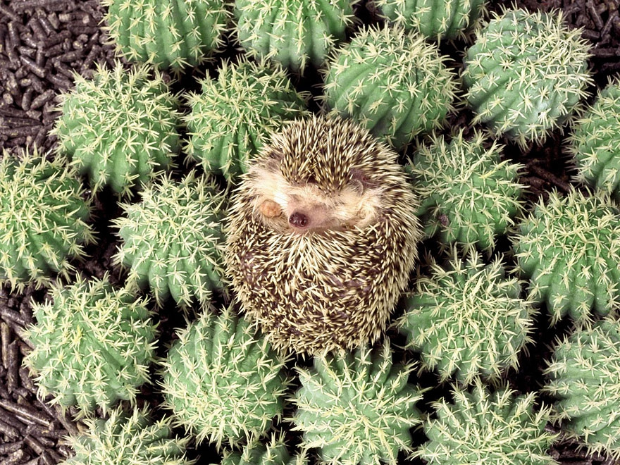 20. Hedgehog