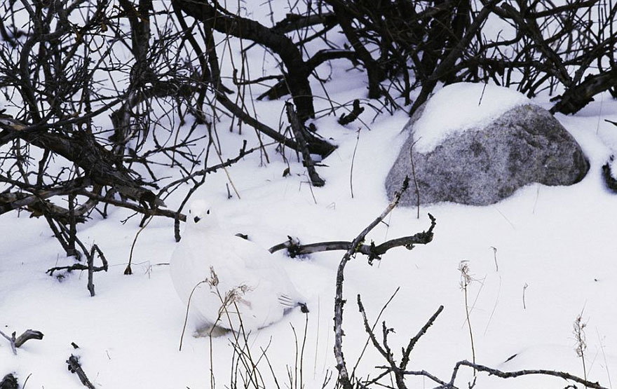 3. Willow Ptarmigan