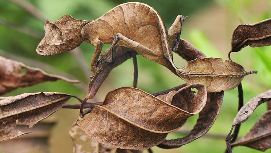 13. Leaf-Tailed Gecko