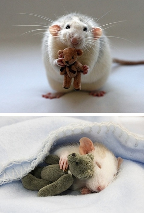 Why Rats Make Awesome Pets!