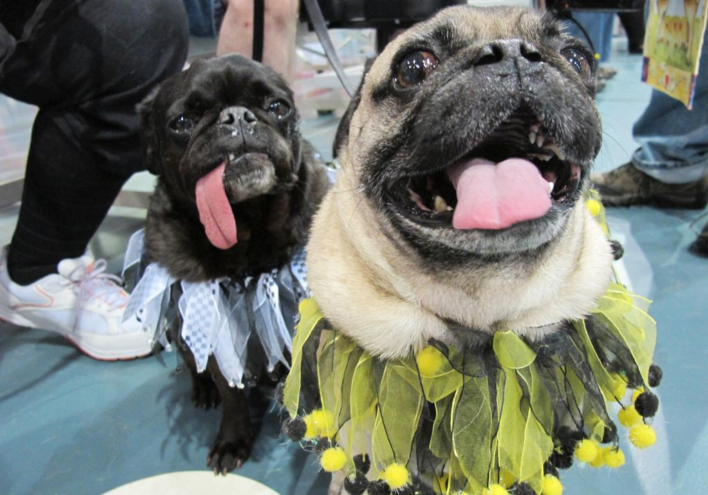 May 19th Milwaukee Pug Fest