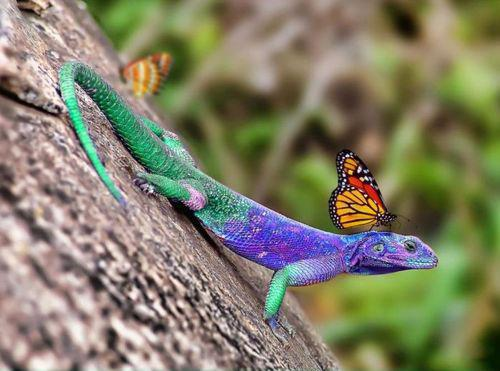 Butterfly Riding Lizzard