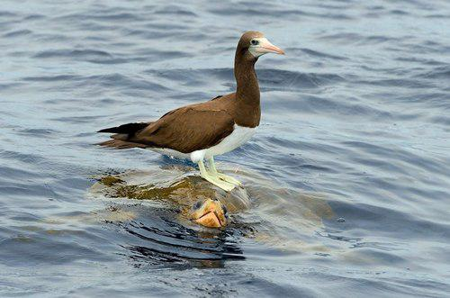 Brown Booby Riding Turtle