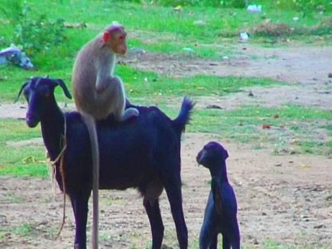Monkey Riding Goat