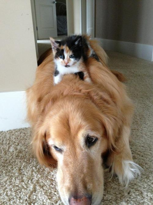 Kitten Riding Dog