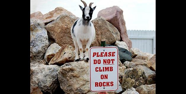 Goats Are Above The Law