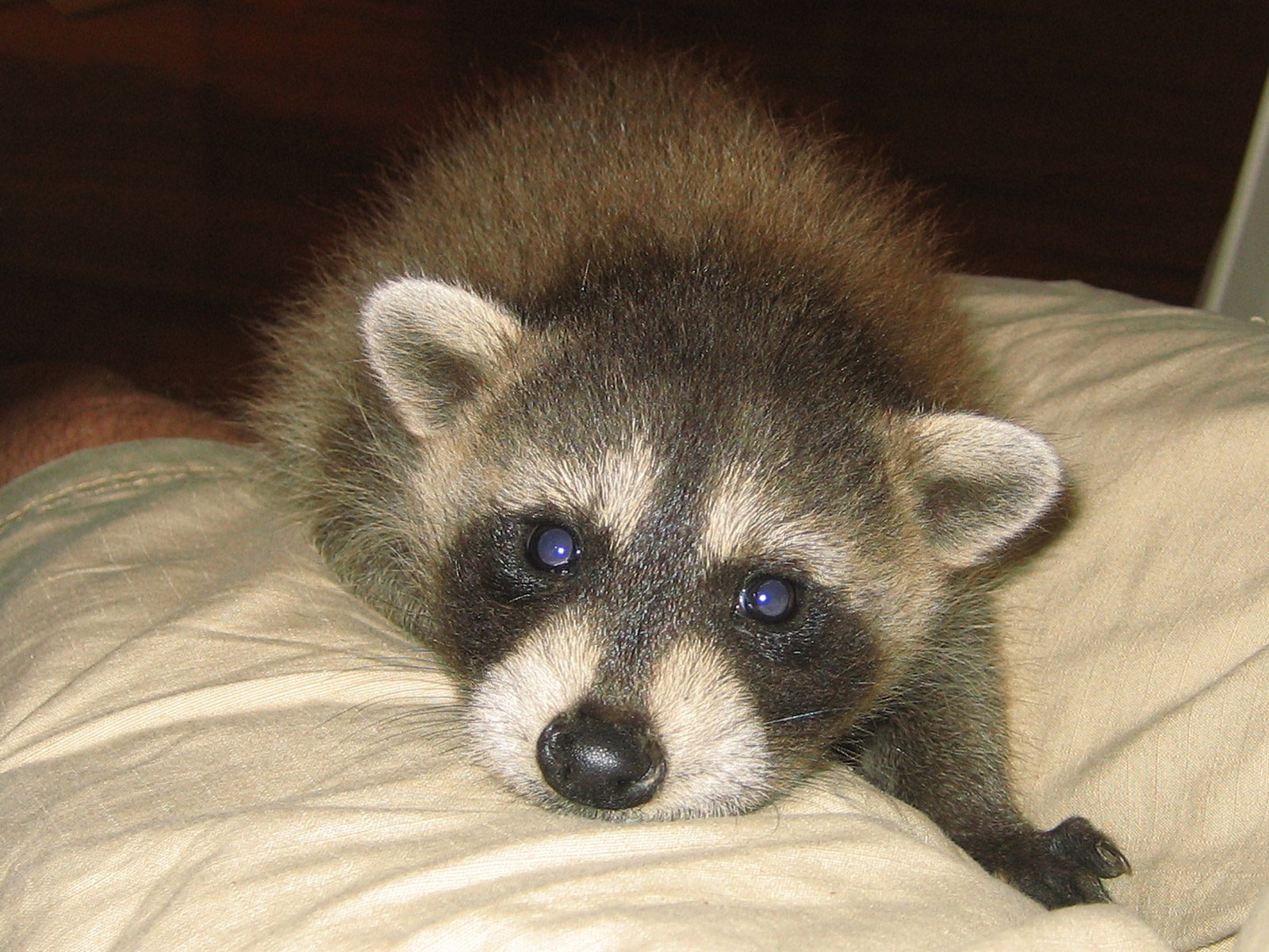 Take A Shot Of Baby Raccoon Cuteness!