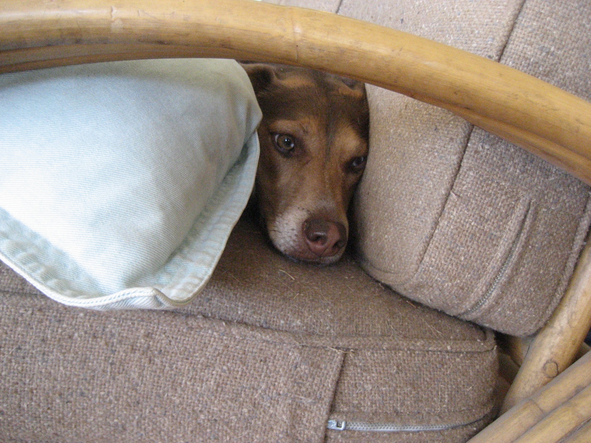 Ready Or Not...Hide And Seek Dogs! Too Cute.