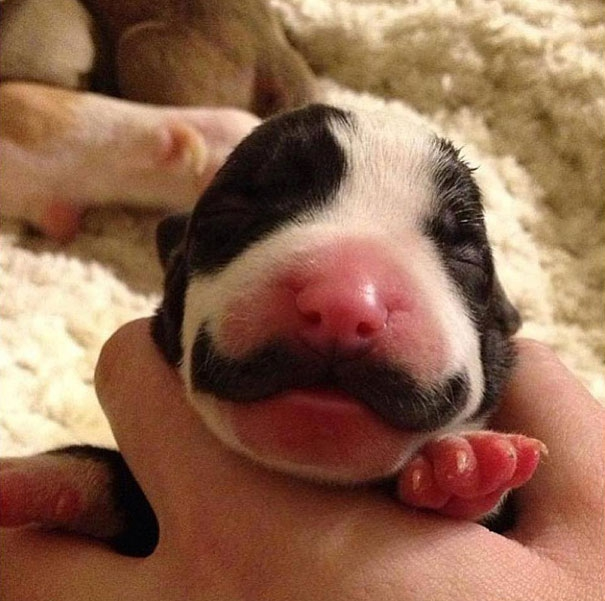 Moustached Puppy Grows Into The Classiest Dog Ever