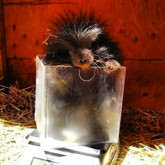 10 Strangely Cute Porcupines