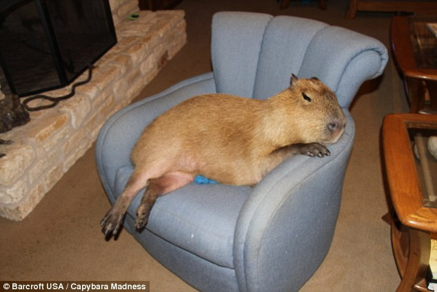The capybara is the largest rodent in the world - followed by the beaver and the porcupine