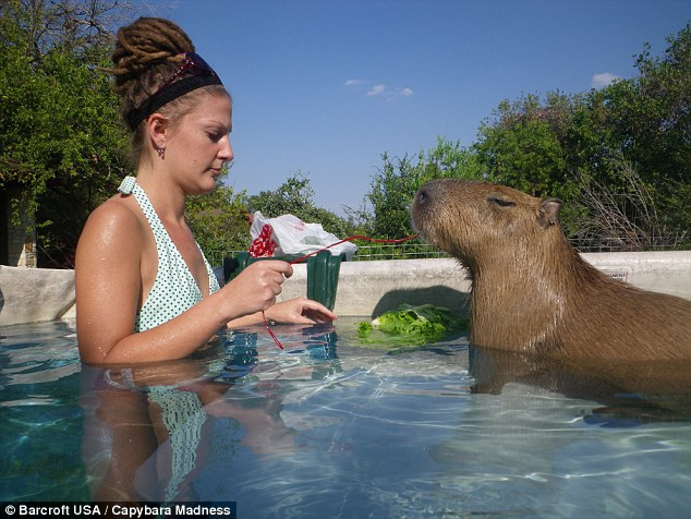 'Affectionate': The semi-aquatic mammal enjoys a swim with his owner's daughter, Coral Waters, at home in Buda, Texas