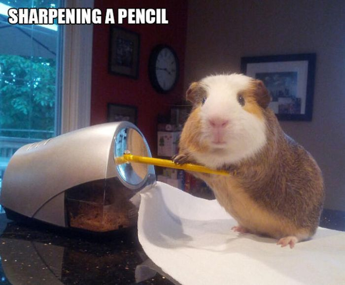 Stuff Guinea Pig Does