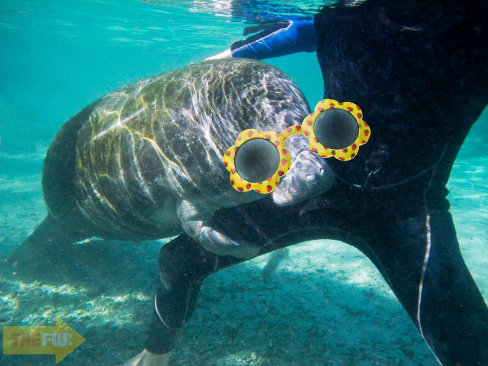 Enjoy These Manatees Wearing Sunglasses