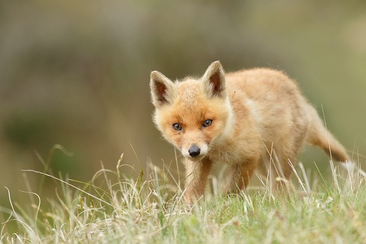 Heartwarming Photos of Adorable Baby Foxes