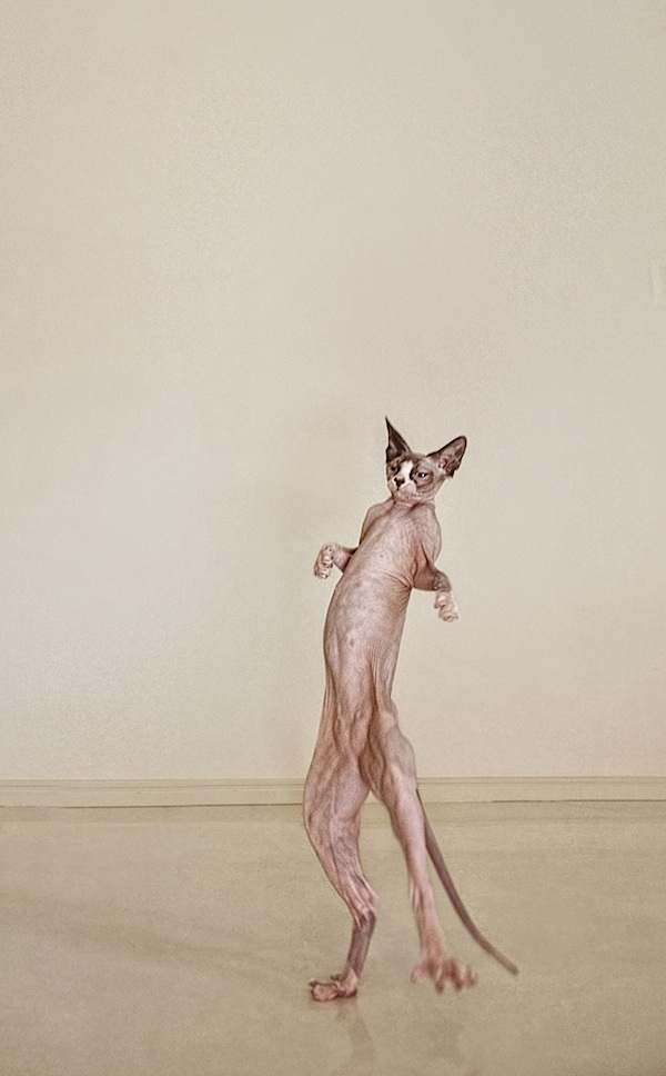 Fine art photos of hairless cats