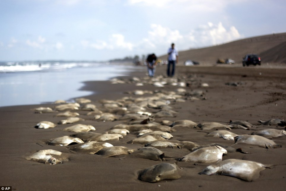 300 Stingrays Found Dead On A Mexican Beach!