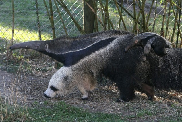 Anteater's Cute And Freaky Panda Feet!