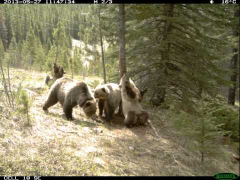 Hidden camera footage of bears congregating around a tree to scratch t