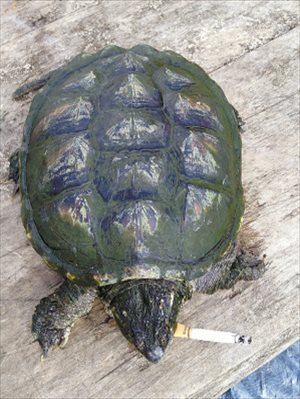Turtle smokes 10 cigarettes a day [video]