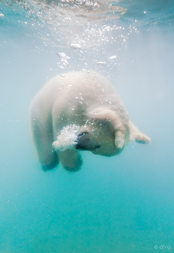 Aww-Worthy Photos of Polar Bears Performing Water Ballet