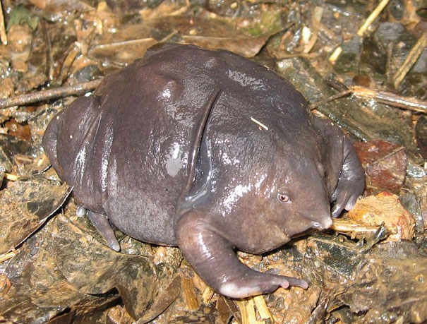 Indian Purple Frog