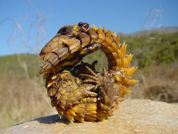 Thorny Dragon