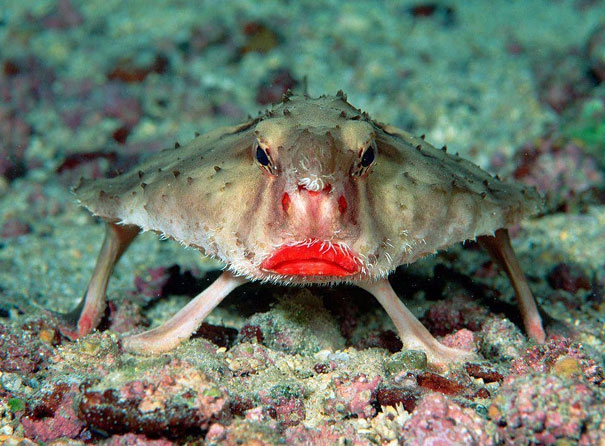 Red-lipped Batfish