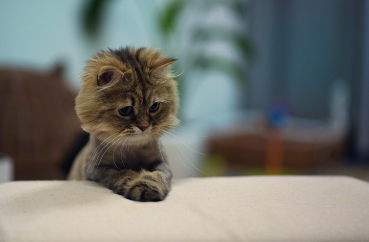 The Cutest Little Kitten Turns into a Mini-Lion