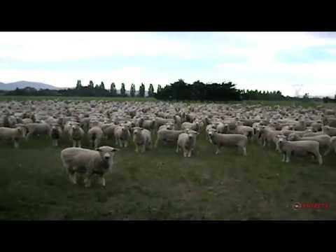 Sheep Baa in Unison at Impromptu Political Rally