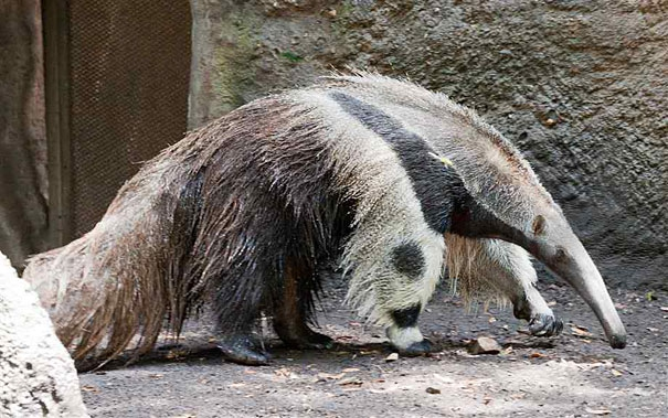 "Giant Anteater's Legs Look Like Pandas  ""panda"", animals, anteater, funny-animal-pictures, funny-animals, giant-anteater, giant-anteater-legs, illusion, legs-like-panda, looks-like-panda, optical-illusion, wildlife"