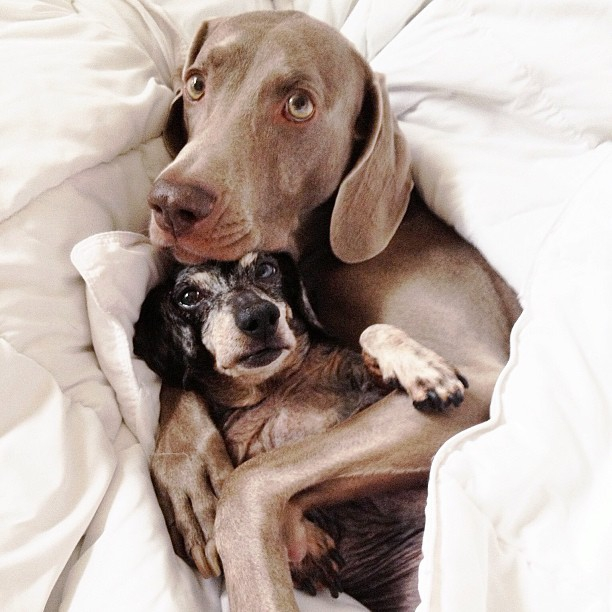 Meet Harlow: The Incredibly Cool Weimaraner (and His Sidekick Sage)
