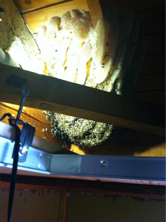 A Simple and Smart Method of Removing a Beehive in Your Attic animal, attic, beehive, honey, method, simple