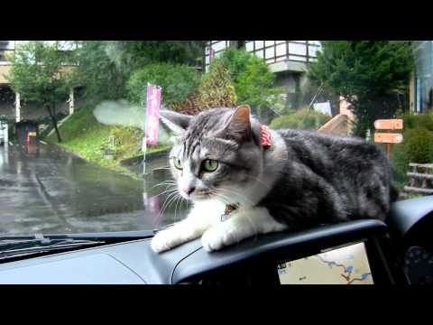 Mei the Cat Fights Windshield Wipers From the Dashboard of a Car