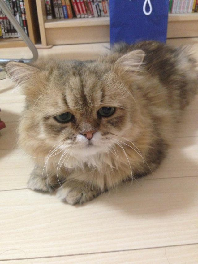 Meet Foo-Chan: The Perpetually Disappointed Cat
