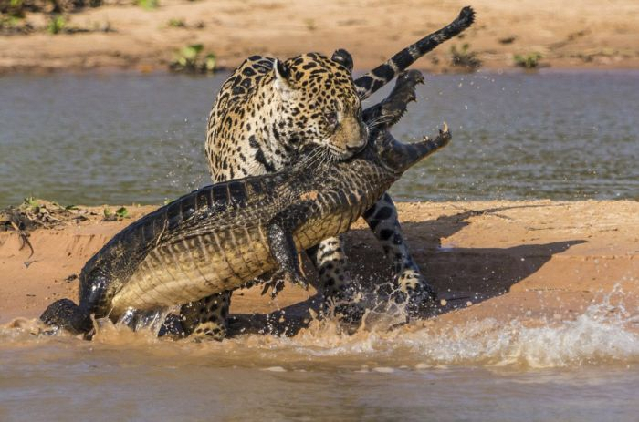 Jaguar Hunts for a Crocodile