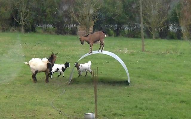 Невероятное чувство равновесия у коз