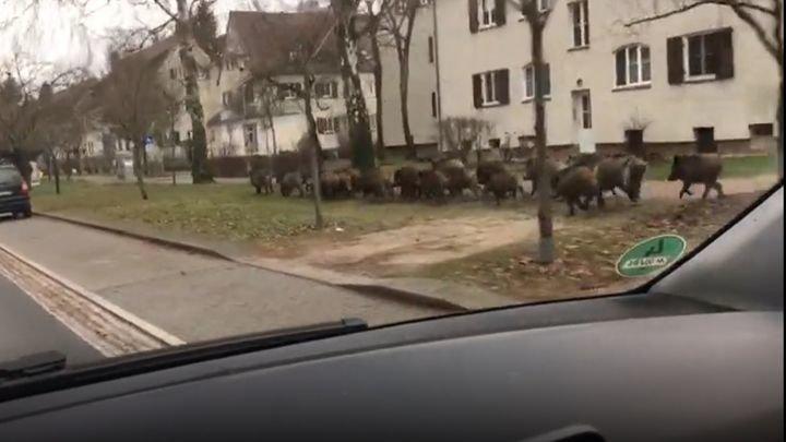 Тем временем в Германии: стадо кабанов нарушило покой жителей немецкой комунны