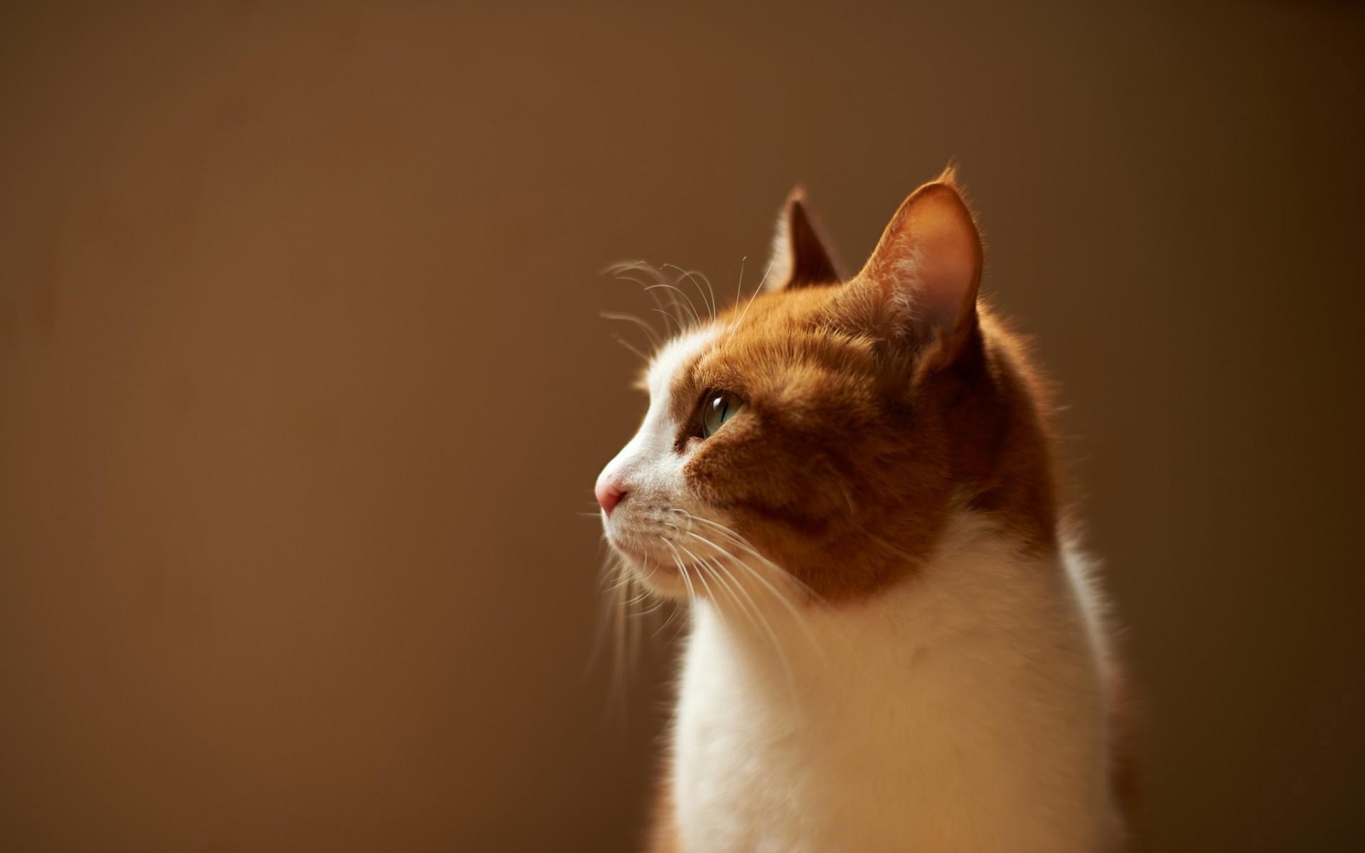 Картинки кошек рыжих с белым