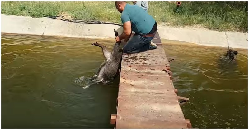 Турецкий дед Мазай спасает диких кабанов из каменной ловушки видео, животные, кабан, канал, спасение, турция