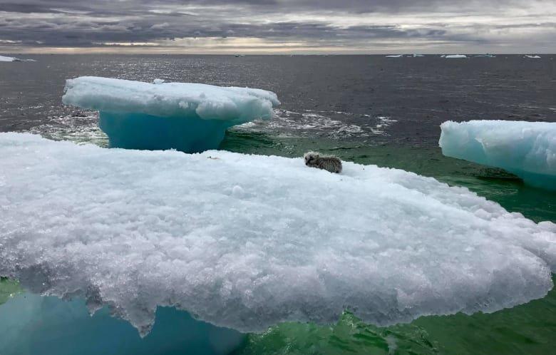 В итоге рыбаки не придумали ничего лучше, как сесть в лодку, протаранить льдину и выловить песца уже из воды в мире, животные, льдина, песец, спасение